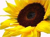 wilfulsunflower@xanga