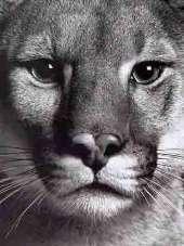 Puma - Пума. в наличии.  Animals.